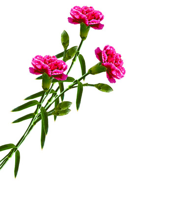 path to romance: Bouquet of flowers carnation isolated on white background.