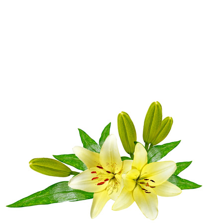 landscape flowers: Flower lily isolated on white background. summer