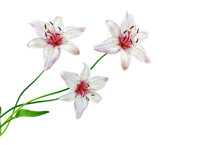 path to romance: Flower lily isolated on white background. summer