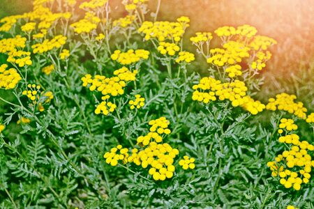 vulgare: Summer landscape with bright and yellow flowers. Tanacetum vulgare.