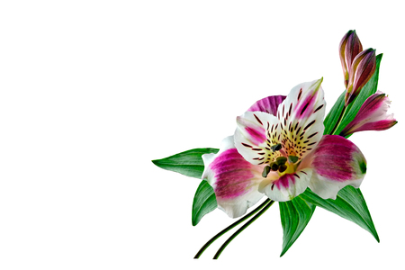 Colorful bright flowers Alstroemeria on a white background.
