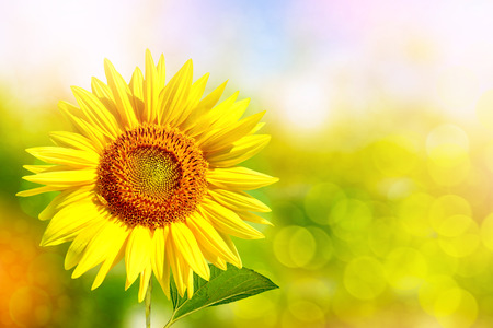 helianthus: Bright colorful flowers sunflowers on a background of the summer landscape.