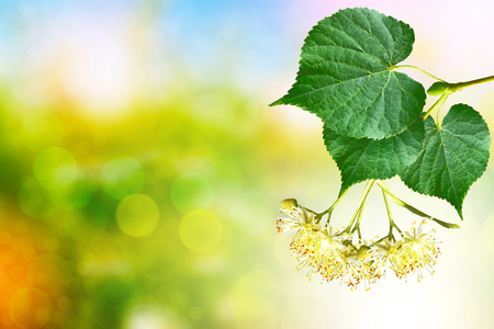 Sprig of flowering linden tree on the background of the spring landscape. Stock Photo