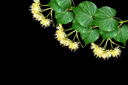 lime blossom: Sprig of linden blossoms isolated on black background.