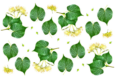 linden blossom: Sprig of linden blossoms isolated on white background. Stock Photo