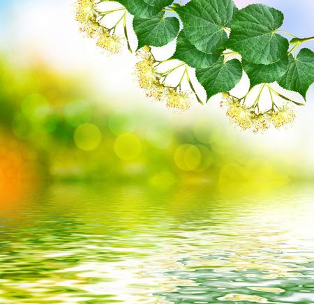 tilia cordata: Sprig of flowering linden tree on the background of the spring landscape. Stock Photo