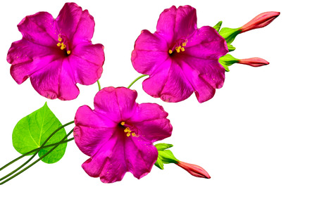 Petunias isolated on a white background. Colorful flowers. Stock Photo