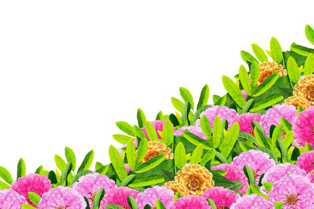 path to romance: colorful flowers zinnias isolated on white background.
