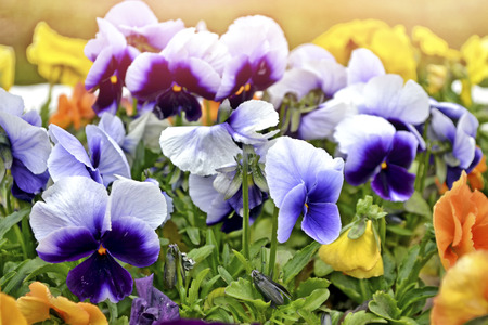 Bright colorful pansy flowers on a background of the summer landscape. Archivio Fotografico