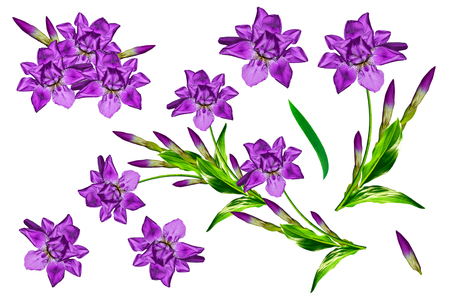 vernal: spring flowers iris isolated on white background.
