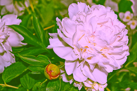 considerable: Bright colorful flowers peonies on the background of the summer landscape. Stock Photo