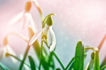 The first delicate spring flower snowdrop.
