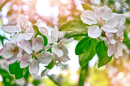 Blossoming branch apple. Bright colorful spring flowers. Stock Photo