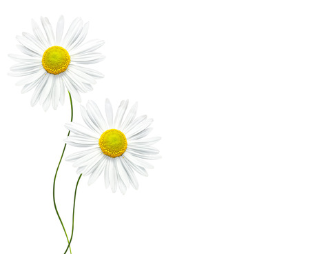 path to romance: daisies summer flower isolated on white background.