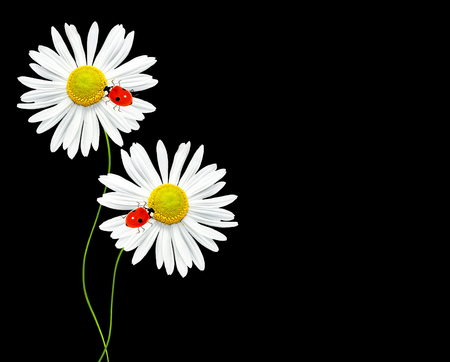 path to romance: daisies summer flower isolated on black background.