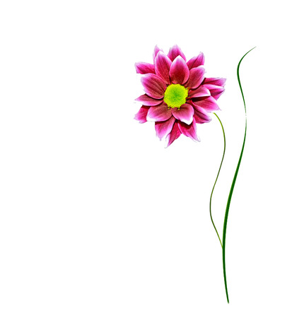 path to romance: Bouquet chrysanthemum. Flowers isolated on white background.