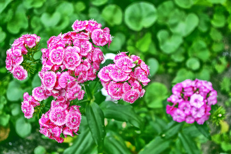 Bright and colorful carnation flowers on a background of the summer landscape. Stock Photo