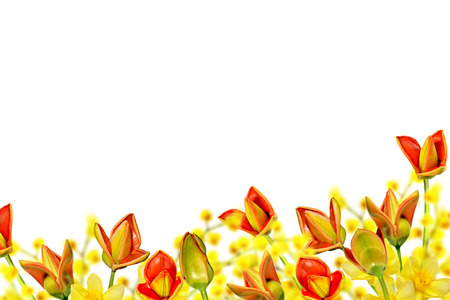 jonquil: spring flowers tulips isolated on white background. daffodil Stock Photo