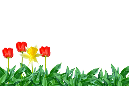 spring flowers tulips isolated on white background. daffodil Stock Photo