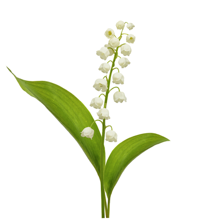 Lily of the valley flower on white background Stock Photo