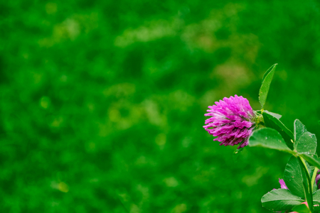 lucky clover: Pink flowers of a clover on a background of a summer landscape.