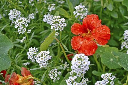 path to romance: nasturtium flowers. Summer landscape