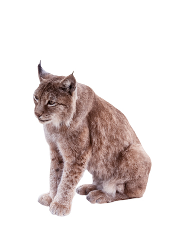 lince rojo: Red haired animal lynx isolated on white background.