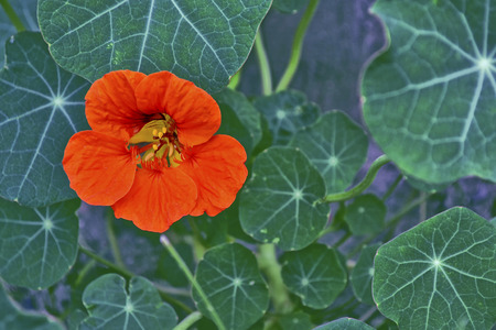 Bright nasturtium flowers with green colorful leaves. Stock Photo