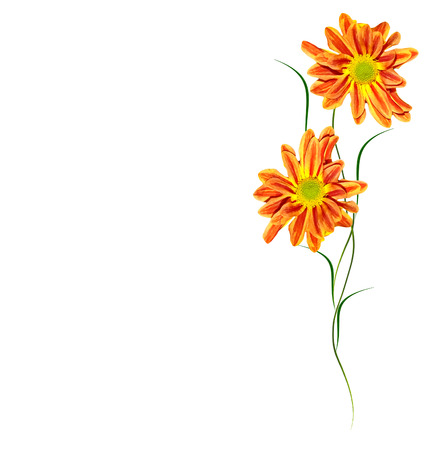 path to romance: Colorful bright flowers chrysanthemum isolated on white background.