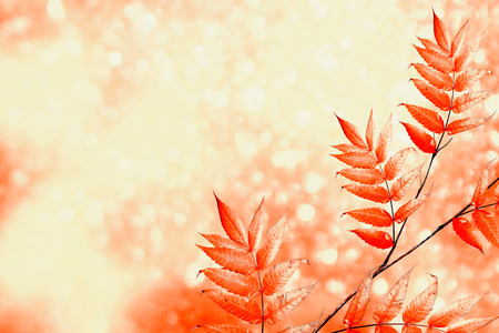sorb: autumn landscape with bright colorful foliage. Indian summer. Stock Photo