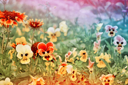 Bright colorful pansy flowers on a background of the summer landscape. Stock Photo