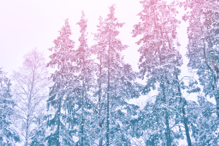 Blurred christmas background. Trees in the snow. Winter Forest Stock Photo