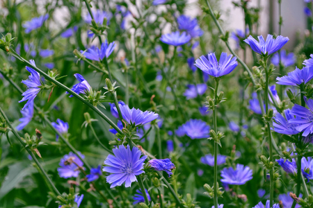 inulin: Blue flowers of chicory on the background of the summer landscape.