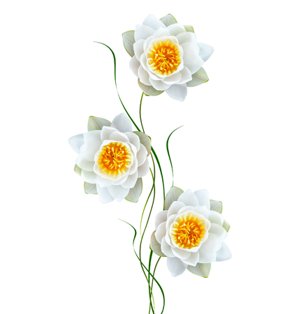 path to romance: Flower water lily isolated on white background.