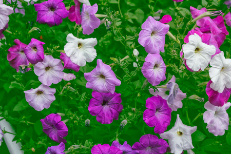 path to romance: Pink petunia colorful flowers on a background summer landscape