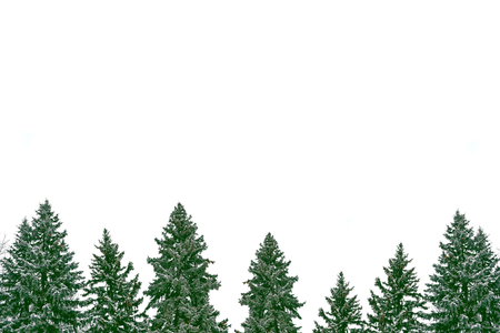 The branches of the snow covered Christmas tree on a white background. Stock Photo