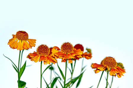 bright and colorful flowers marigolds. autumn landscape.