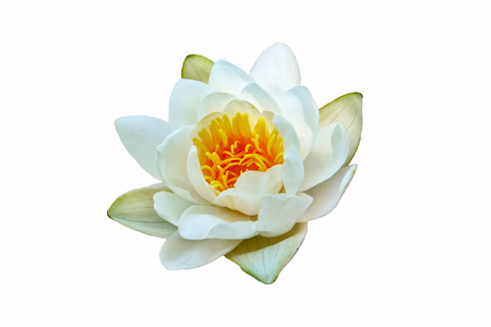 Flower water lily isolated on white background.