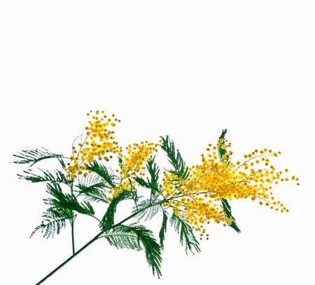 Bush of yellow spring flowers mimosa isolated on white background. Stock Photo