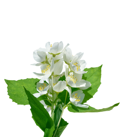 branch of jasmine flowers isolated on white background. Stock Photo