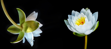 Flower water lily isolated on black background.
