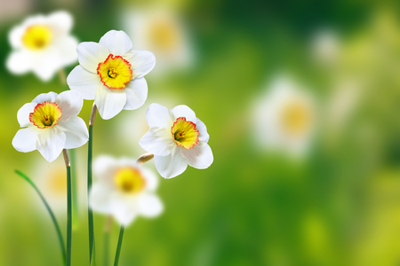 Bright and colorful flowers of daffodils on the background of the spring landscape Imagens - 94715478