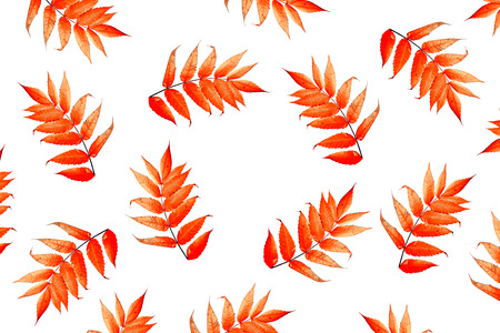 Bright colorful autumn leaves isolated on white background. rowan