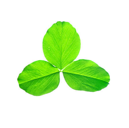 Green clover leaves isolated on white background. St.Patrick s Day Stock Photo