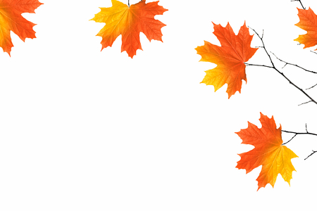 Bright autumn maple leaf on a white background.