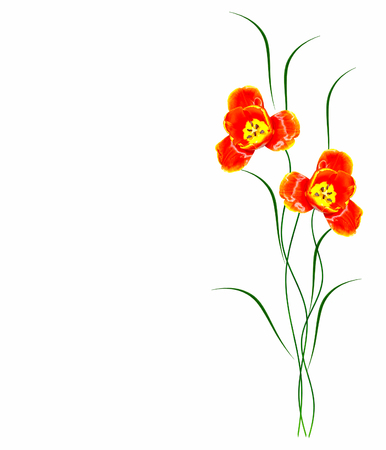 Spring flowers tulips isolated on white background.