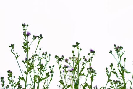 Thistle plant (Silybum marianum) herbal remedy. burdock