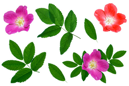 Bright colorful briar flowers isolated on white background. Stock Photo