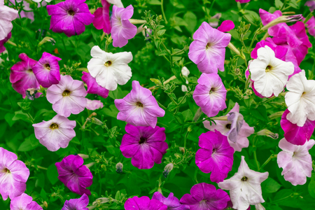 Pink petunia colorful flowers on a background summer landscape