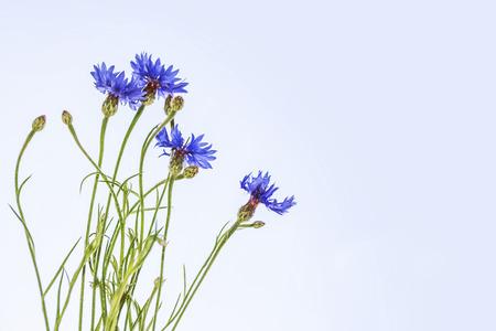 Field cornflower blue flowers against the background of the summer landscape. Foto de archivo